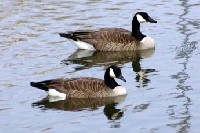 Tennessee Goose Hunting