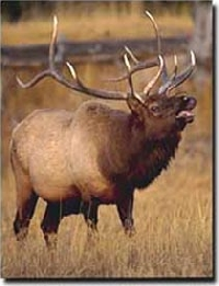 California elk hunting