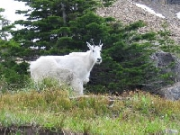 Wyoming mountain goat hunting