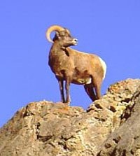 North Dakota bighorn sheep hunting