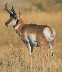 California Pronghorn Antelope Hunting Guides and Outfitters
