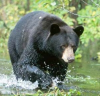 Black Bear Hunting Guides and Outfitters from New Brunswick, Canada