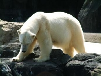 Polar Bear Hunting Guides and Outfitters from Nunavut, Canada