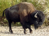 Buffalo hunting {American Bison} Hunting Guides and Outfitters from Saskatchewan, Canada