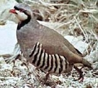 Colorado Partridge Hunting Guides and Outfitters