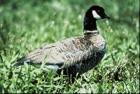 General Information on Goose