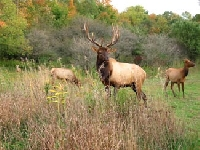 Elk: General Information on This Big Game Animal