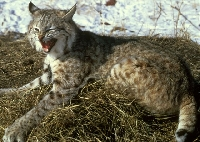 Bobcat Hunting Guides and Outfitters – Trips and Guided Hunts