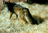 California Coyote Hunting Guides and Outfitters