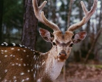 Louisiana Axis Deer Hunting Guides and Outfitters