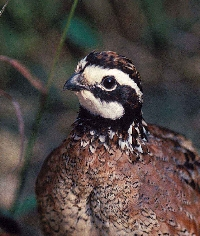California Quail Hunting